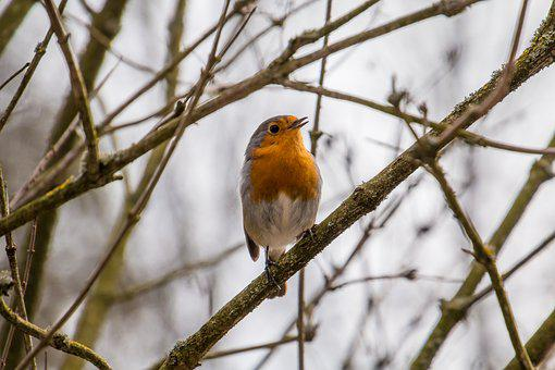Robin, Rotbrüstchen, Bird, Small Bird, Feather, Orange
