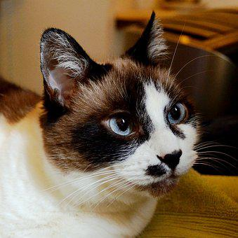 Cat, Kitty, Pet, Animal, Cute, Domestic, Feline, White