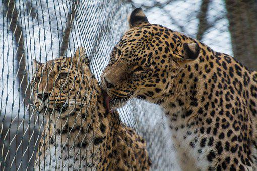 Leopard, Persian Leopard, Portrait, Female, Males, Love