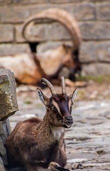 Capricorn, Goat, Goats, Bock, Horned, Billy Goat, Horns