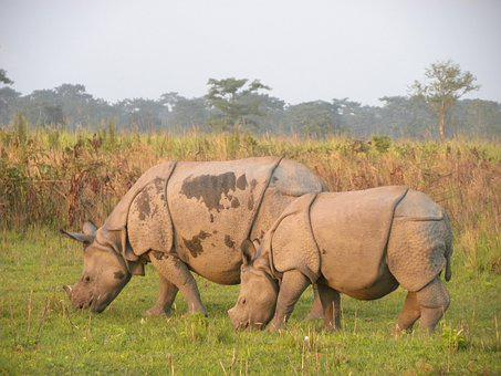Manas Rhino, Manas National Park, Assam, India