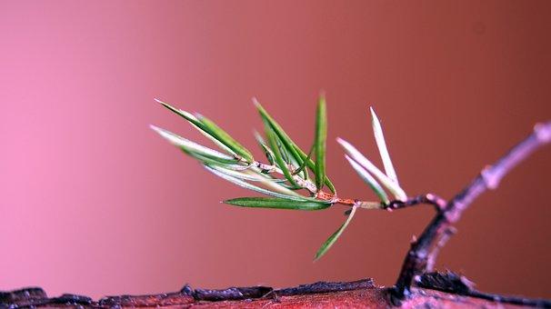 Sprig, Juniper Pins, A Wild Shrub