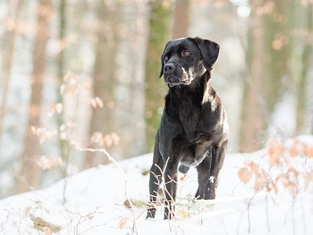 Labrador, Nature, Obedience, Pet Photography, Out