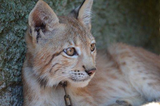 Lynx, Zoo, Puppy