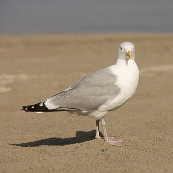 Seagull, Beach, North Sea, Bird, Most Beach, Sand Beach