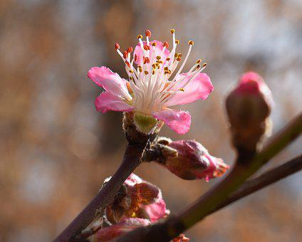 Peach Blossom, Peach Tree, Blossom, Flower, Bloom