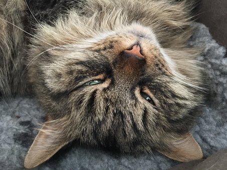 Cat, Tabby, Siberian, Fluffy, Asleep, Sleepy, Pet