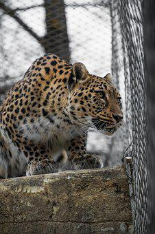 Leopard, Persian Leopard, Portrait, Close, View, Face
