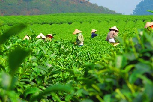 Tea, Plantation, Harvest, Crop, Field, Workers, Picking