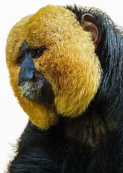 Animal, Monkey, Saki, Weisskopfsaki