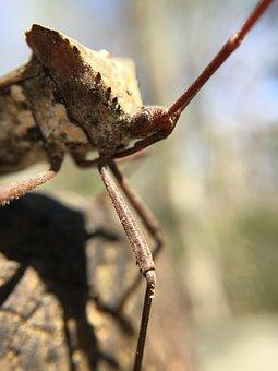 Insect, Bug, Nature, Wildlife, Leaffootedbug, Animal