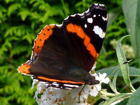 Butterfly, Admiral, Edelfalter, Insect, Nature, Plant