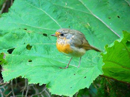 Bird, Robin, Fly, Young, Animal, Erithacus Rubecula