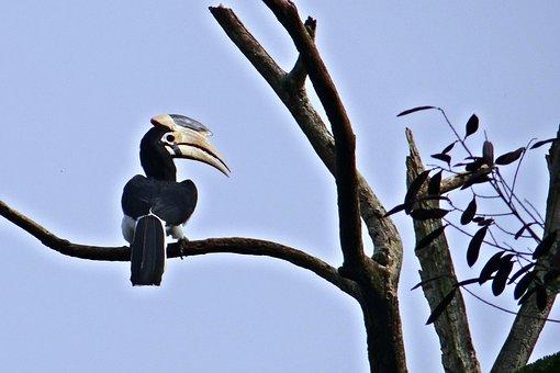 Malabar Pied Hornbill, Anthracoceros Coronatus