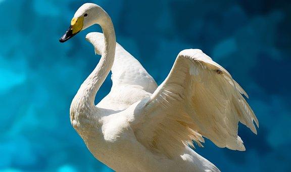 Swan, White, Fluegelschlag, Lake, Bach, Pond