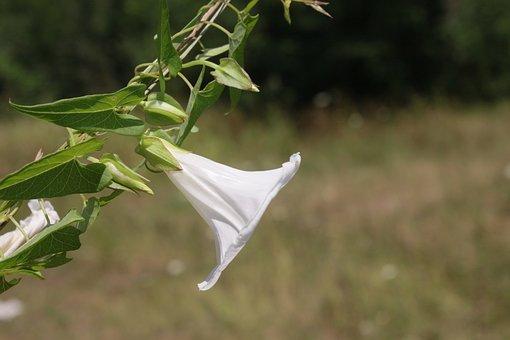 Arvensis, Bindweed, Climbing, Convolvulus, Field