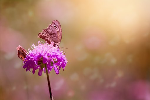 Butterflies, Meadow Brown, Edelfalter, Animal