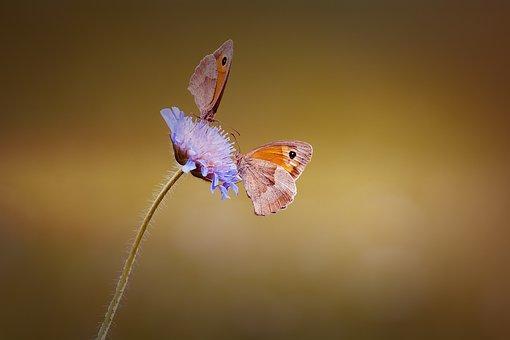 Butterflies, Two, Two Butterflies, Meadow Brown