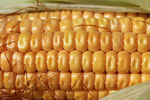 Corn, Pattern, Agriculture, Natural, Crop, Fresh
