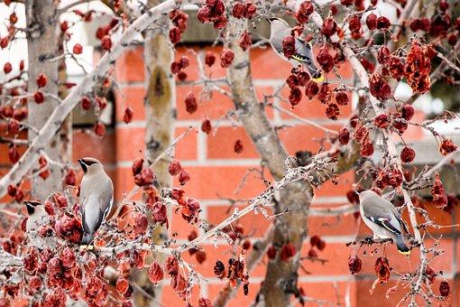 Waxwing, Bird, Crab Apple, Tree, Fruit, Flock, Nature