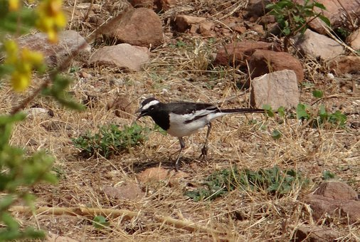 Pied Wagtail, Motacilla Alba, Bird, Fly, Wings, Feather