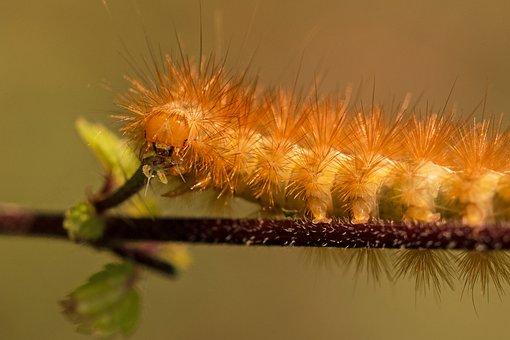 Caterpillar, Hairy, Hair, Phragmatobia Fuliginosa