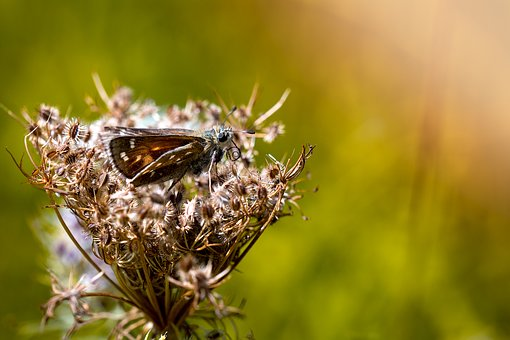 Skipper, Butterfly, Insect, Nature, Flight Insect