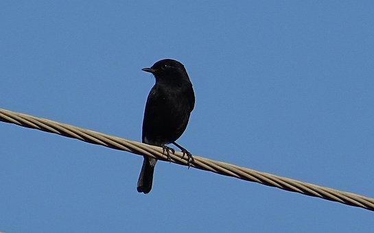 Bird, Pied Bush Chat, Saxicola Caprata, Passerine, Male