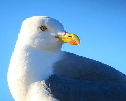 Wildlife, Nature, Bird, Feathers, Gull, Fauna, Beak, Uk