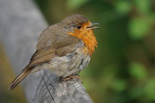 Robin, Bird, Songbird, Old World Flycatcher