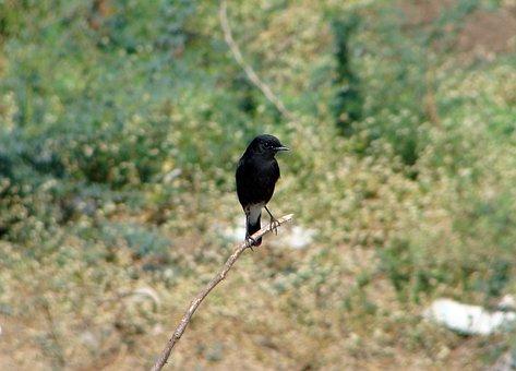 Bird, Pied Bush Chat, Wild, Animal, Perched, Sitting