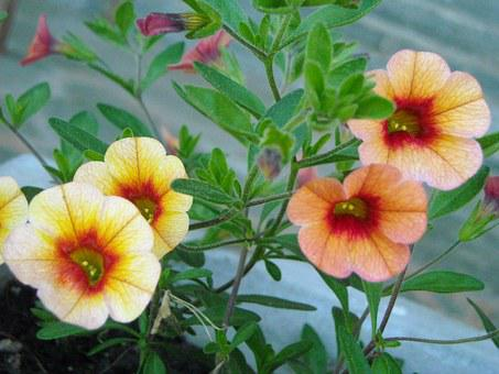 Calibrachoa, Flower, Plant, Garden, Petunia, Bloom