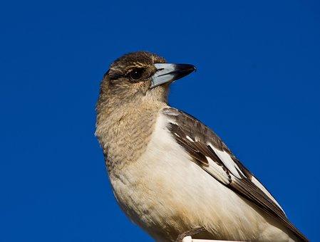 Pied Butcherbird, Butcherbird, Pied, Bird, Juvenile