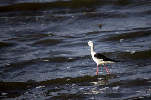 Black-winged Stilt, Bird, Common Stilt, Pied Stilt