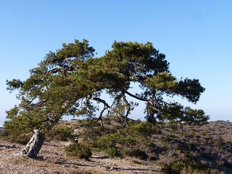 Singular Tree, Pine, Montsant, Pi Cugat