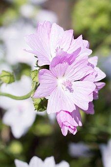 Stock Rose, Pink, Flower, Pink Flower, Blossom, Bloom