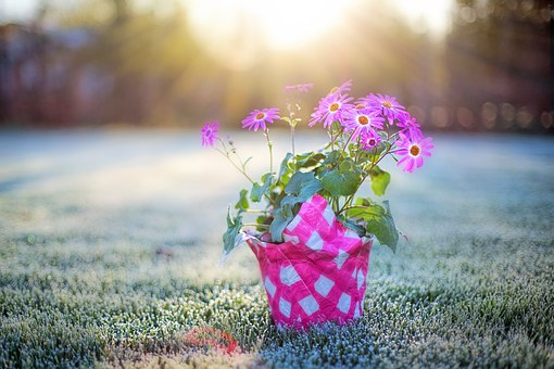 Pink Flower, Pink Daisies, Frost On Grass