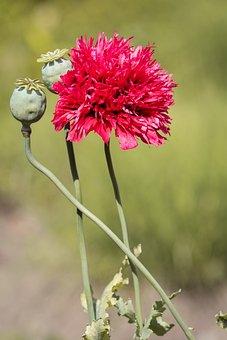 Poppy, Filled Poppy, Red, Blossom, Bloom, Red Flower