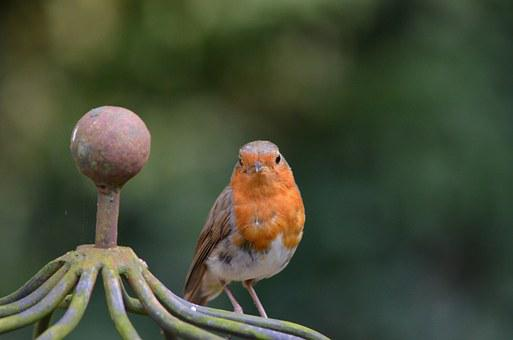 Robin, Bird, Songbird, Animal, Erithacus Rubecula