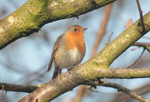 Robin, Bird, Songbird, Sparrow Bird, Nature, Beautiful