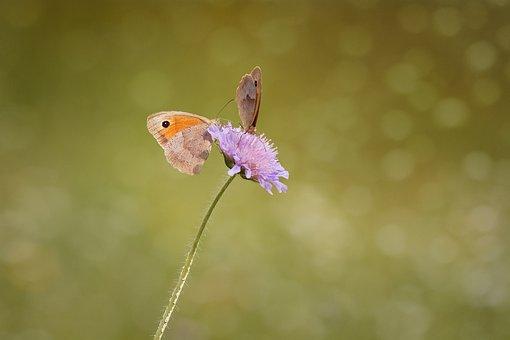 Butterflies, Two, Meadow Brown, Satyrinae, Edelfalter
