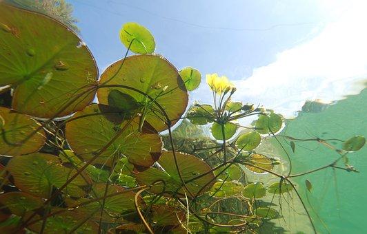 Underwater, Photography, Pond Plants, Aquatic Plants