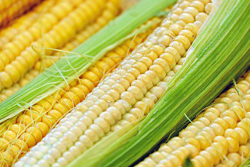 Corn, Corn On The Cob, Piston, Young, Frisch, Plant