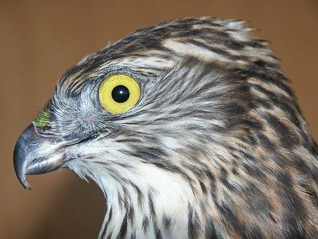 Falcon, Head, Bird Of Prey, Portrait