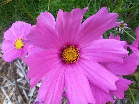 Cosmos Bipinnatus, Pink Flower, Close, Blossom, Bright