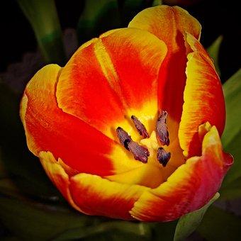 Flower, Tulip, Close Up, Single Bloom