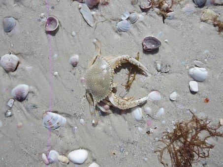 Crab, Ocean, Sand, Sea, Marine, Animal, Shell, Claw