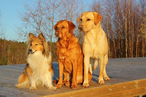 Dogs, Labrador, Friends, Trio, Dogs Together