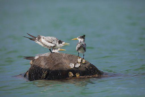 Wild Birds, Common Tern, Indonesia