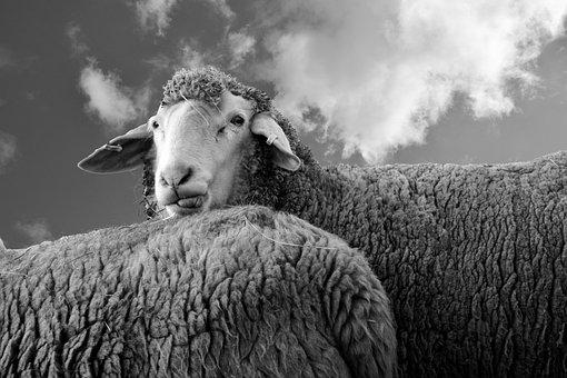 Sheep, View, Animal, Wool, Look, Livestock, Head